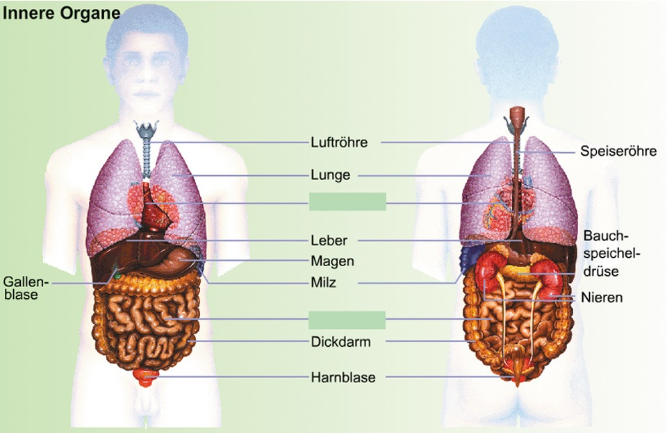 Innere Organe-Help | Samariter Brig-Glis